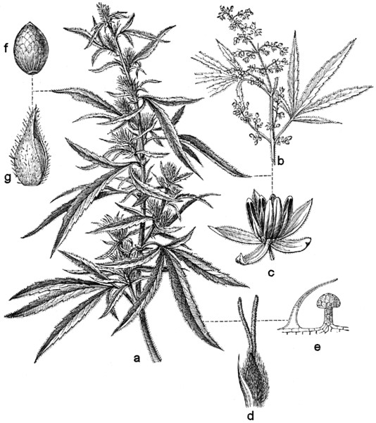 Cannabis sativa drawing black and white